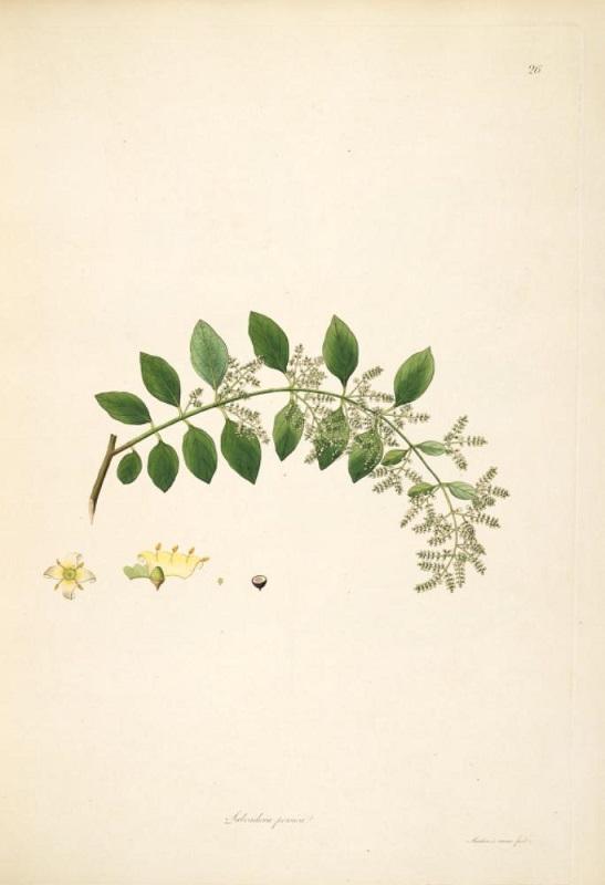 Рисунок сальвадоры персидской